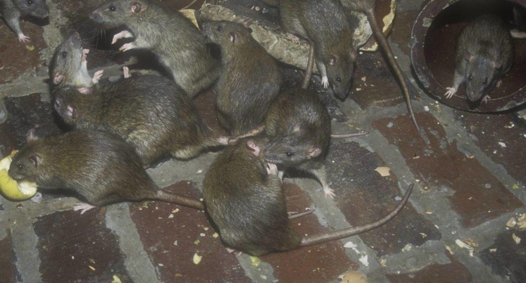 уничтожение крыс в Подольске